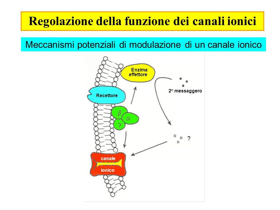 Modulazione dei canali del Ca 2+ di tipo N Background: I canali di tipo N (e P/Q) si trovano a livello presinaptico.