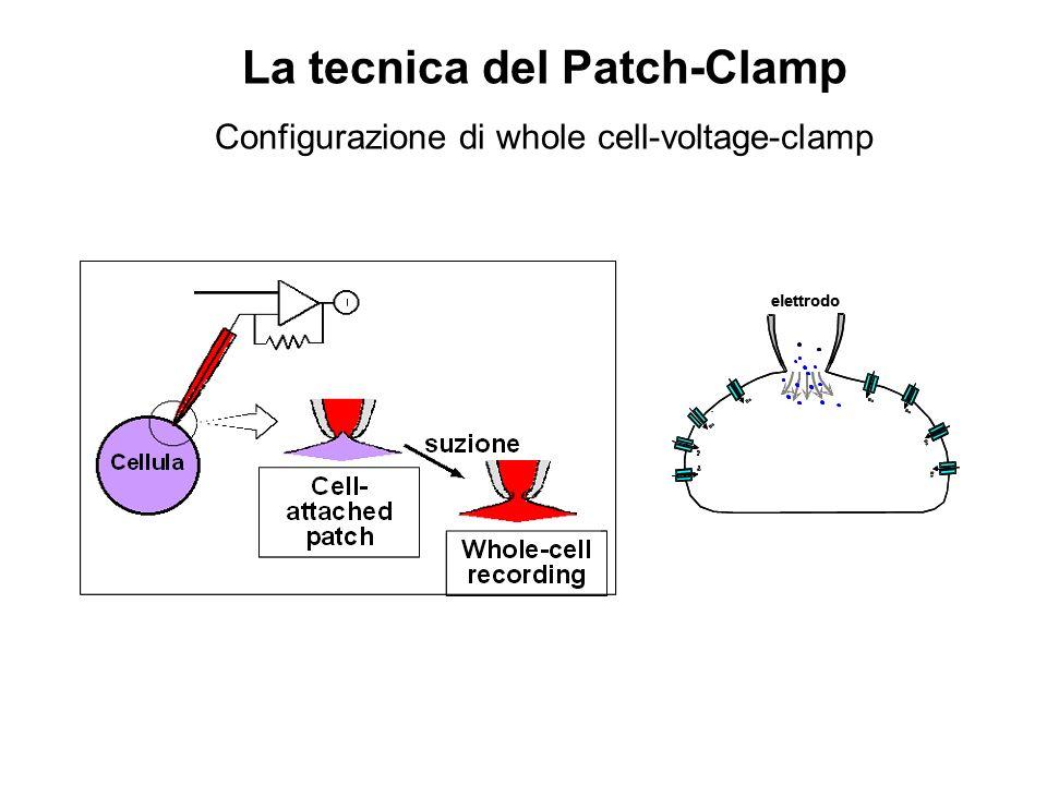 Contr Agonista 050100150200250300 -1000 -800 -600 -400 -200 0 200 Corrente (pA) Tempo (ms) -60 +10 -60 Configurazione di Whole-cell Voltage-clamp Contr Agonista