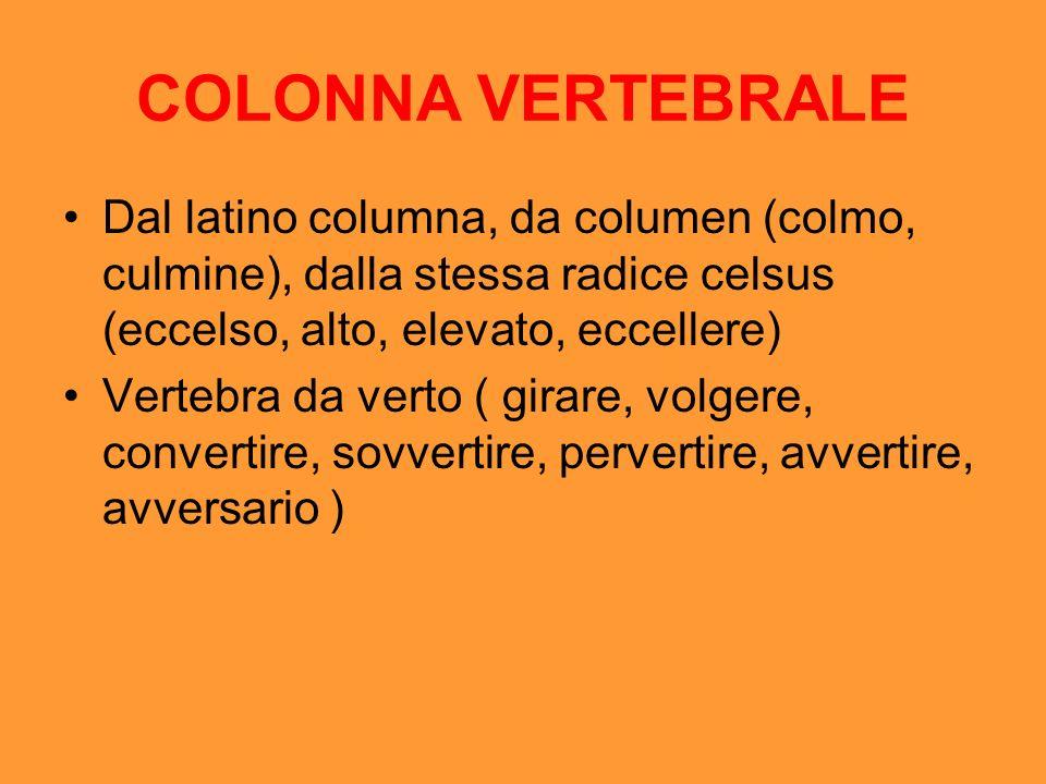 COLONNA VERTEBRALE Dal latino columna, da columen (colmo, culmine), dalla stessa radice celsus (eccelso, alto, elevato, eccellere) Vertebra da verto (