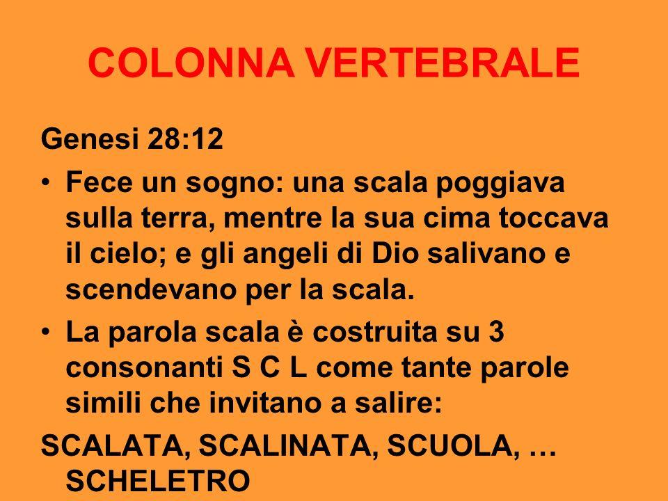 COLONNA VERTEBRALE Genesi 28:12 Fece un sogno: una scala poggiava sulla terra, mentre la sua cima toccava il cielo; e gli angeli di Dio salivano e sce