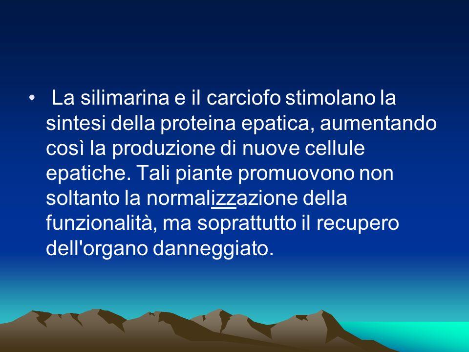 La silimarina e il carciofo stimolano la sintesi della proteina epatica, aumentando così la produzione di nuove cellule epatiche. Tali piante promuovo