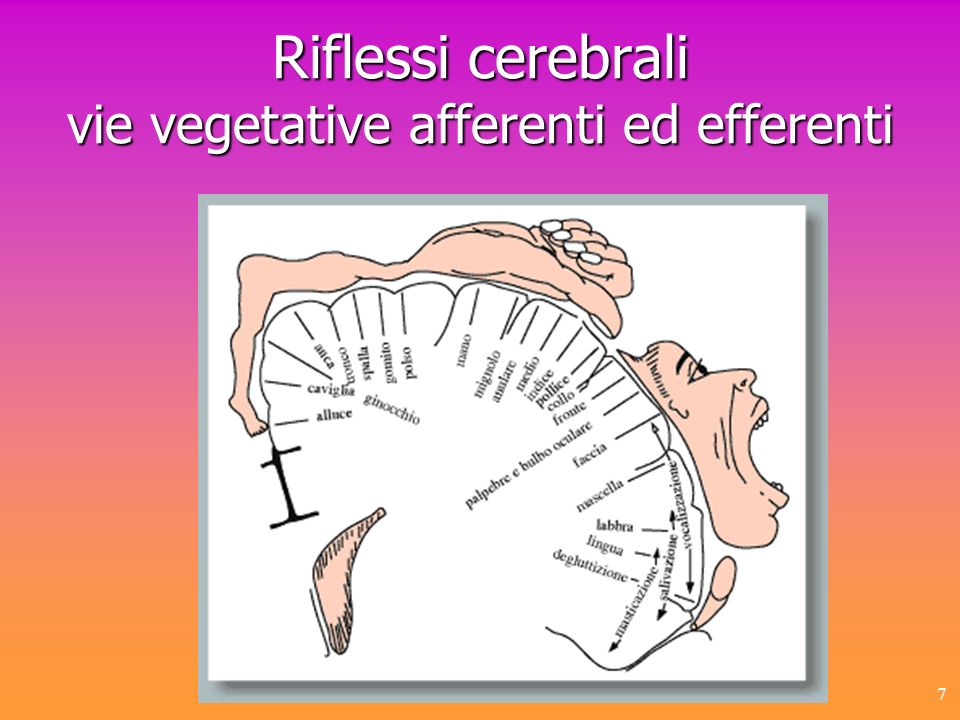 7 Riflessi cerebrali vie vegetative afferenti ed efferenti