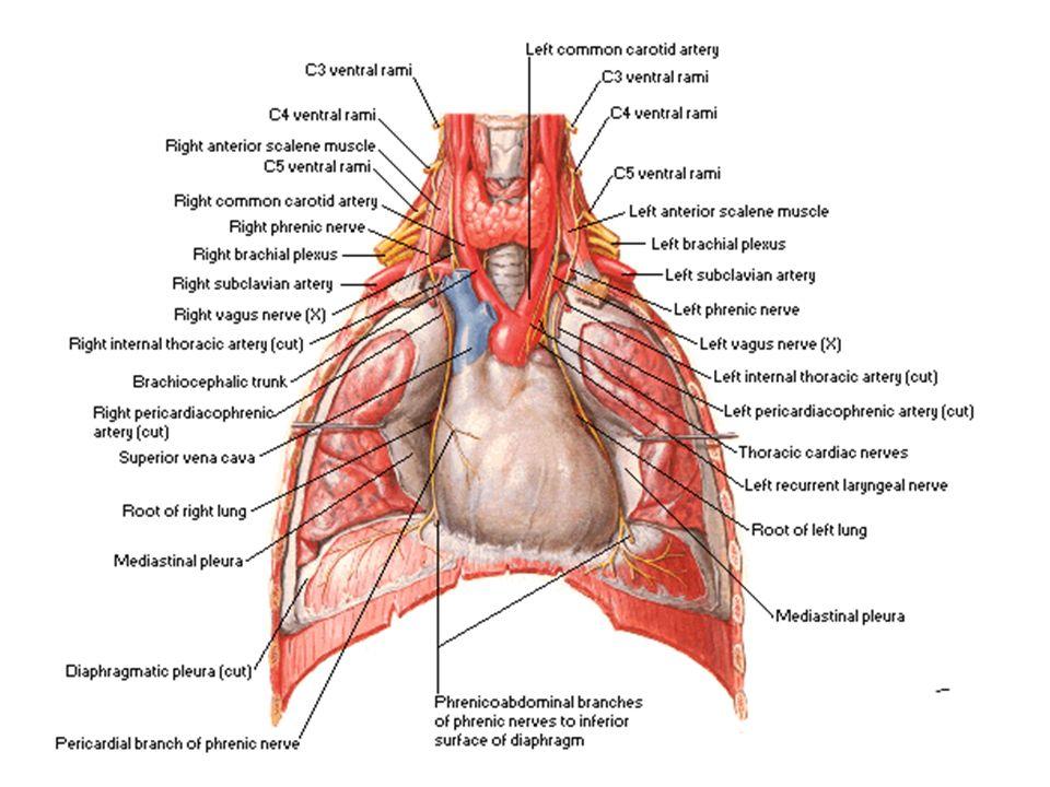 Durante il trattamento delle malattie dell apparato respiratorio, è molto importante il controllo stretto degli alimenti produttori di muco, anche a piccole quantità, e questi sono gli alimenti ricchi di albumina e gli alimenti ricchi di amido.