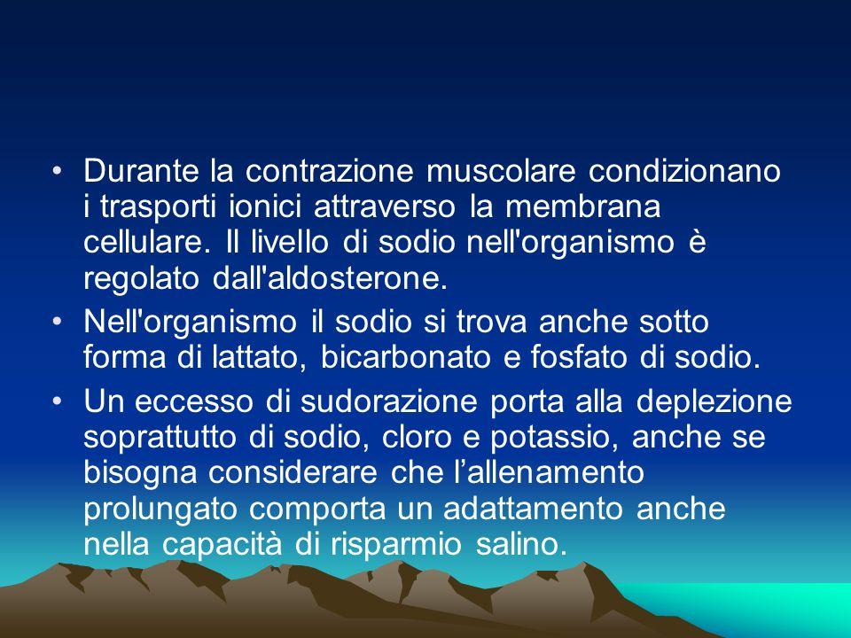 Durante la contrazione muscolare condizionano i trasporti ionici attraverso la membrana cellulare.