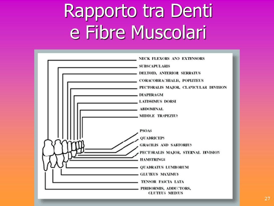 27 Rapporto tra Denti e Fibre Muscolari