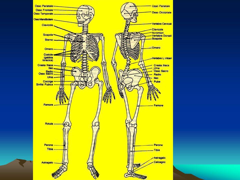 lo scheletro