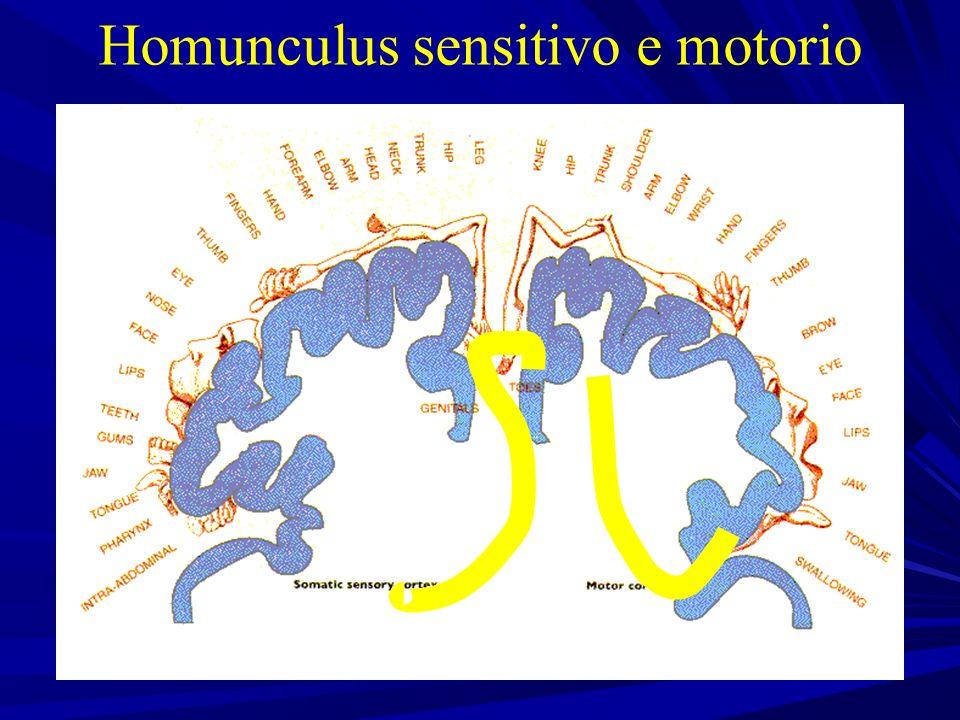 Homunculus sensitivo e motorio