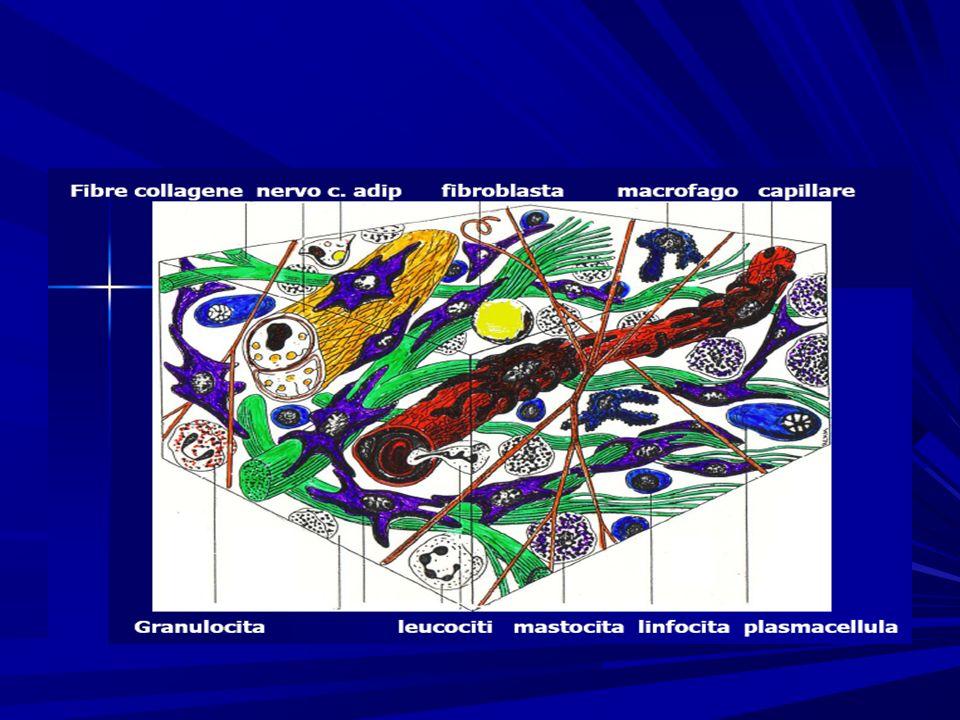 Recettori cutanei Terminazione nervosa libera Corpuscolo di Meissner Epidermide Derma Corpuscolo di Ruffini Corpuscolo di Pacini Plesso nervoso del follicolo pilifero Strato sottocutaneo I recettori cutanei possono essere meccanocettori, termocettori e nocicettori.