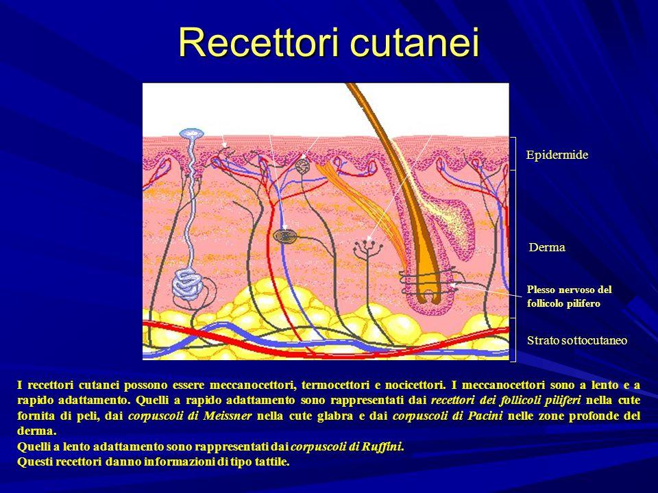 Recettori cutanei Terminazione nervosa libera Corpuscolo di Meissner Epidermide Derma Corpuscolo di Ruffini Corpuscolo di Pacini Plesso nervoso del fo
