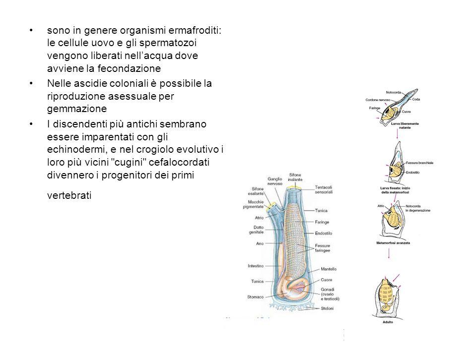 sono in genere organismi ermafroditi: le cellule uovo e gli spermatozoi vengono liberati nellacqua dove avviene la fecondazione Nelle ascidie colonial