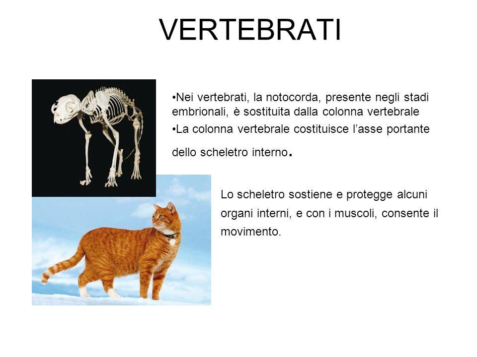 VERTEBRATI Nei vertebrati, la notocorda, presente negli stadi embrionali, è sostituita dalla colonna vertebrale La colonna vertebrale costituisce lass