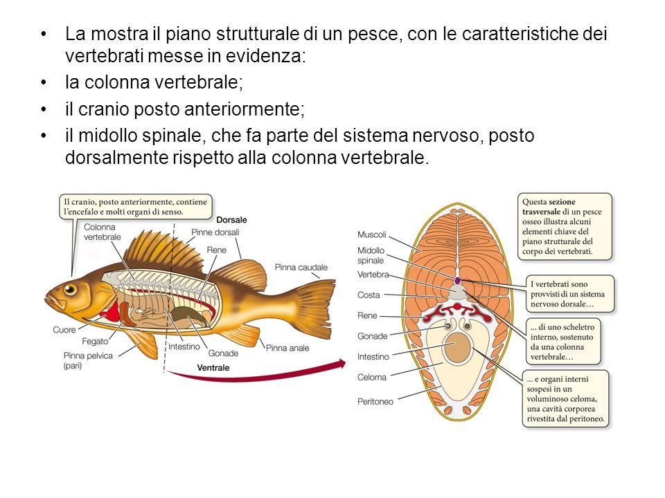 La mostra il piano strutturale di un pesce, con le caratteristiche dei vertebrati messe in evidenza: la colonna vertebrale; il cranio posto anteriorme