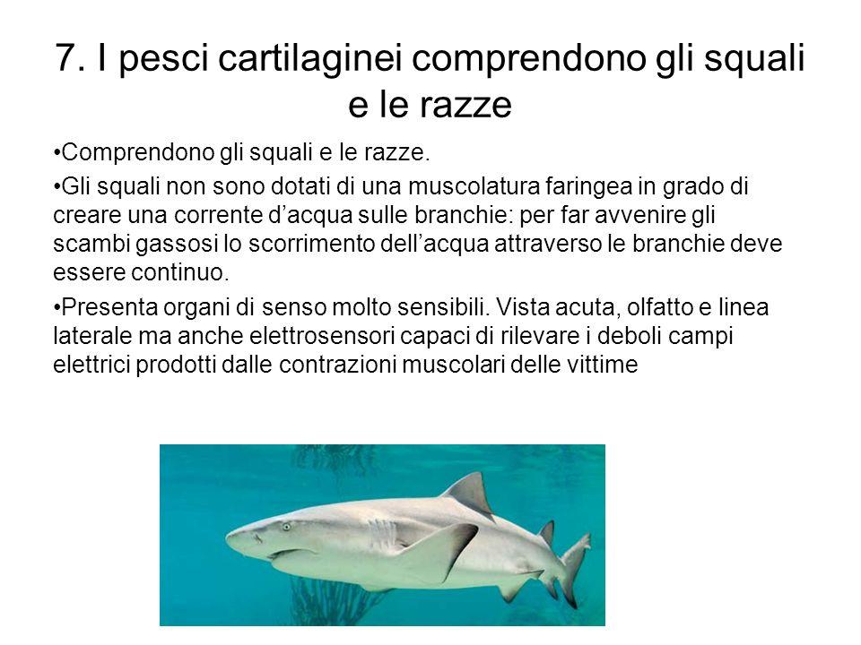 7. I pesci cartilaginei comprendono gli squali e le razze Comprendono gli squali e le razze. Gli squali non sono dotati di una muscolatura faringea in