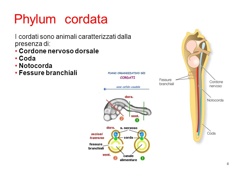 Phylum cordata I cordati sono animali caratterizzati dalla presenza di: Cordone nervoso dorsale Coda Notocorda Fessure branchiali 4