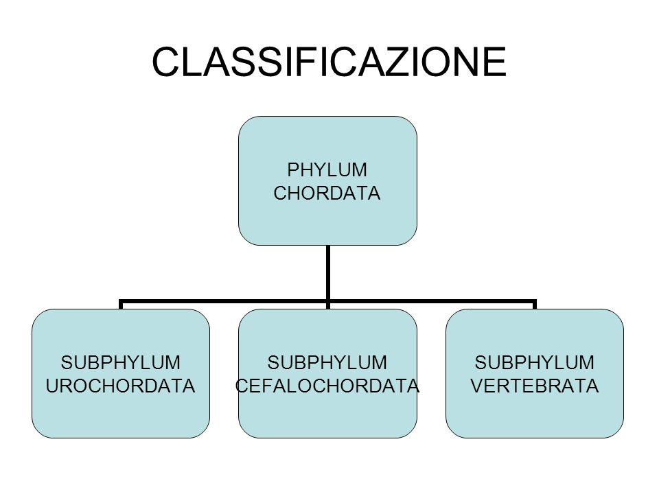 CARATTERISTICHE COMUNI DEI VERTEBRATI Hanno la colonna vertebrale Alto grado di cefalizzazione: il cranio contiene il cervello ed accoglie molti organi di senso specializzati La pelle è rivestita da scaglie, squame, penne o peli; Il sistema nervoso è altamente sviluppato ed è costituito da encefalo e da midollo spinale I sistemi digerente, respiratorio e circolatorio sono sviluppati; la riproduzione è sessuata.