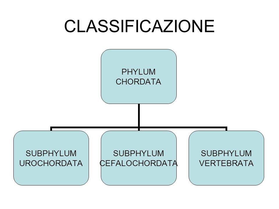 CLASSIFICAZIONE PHYLUM CHORDATA SUBPHYLUM UROCHORDATA SUBPHYLUM CEFALOCHORDATA SUBPHYLUM VERTEBRATA