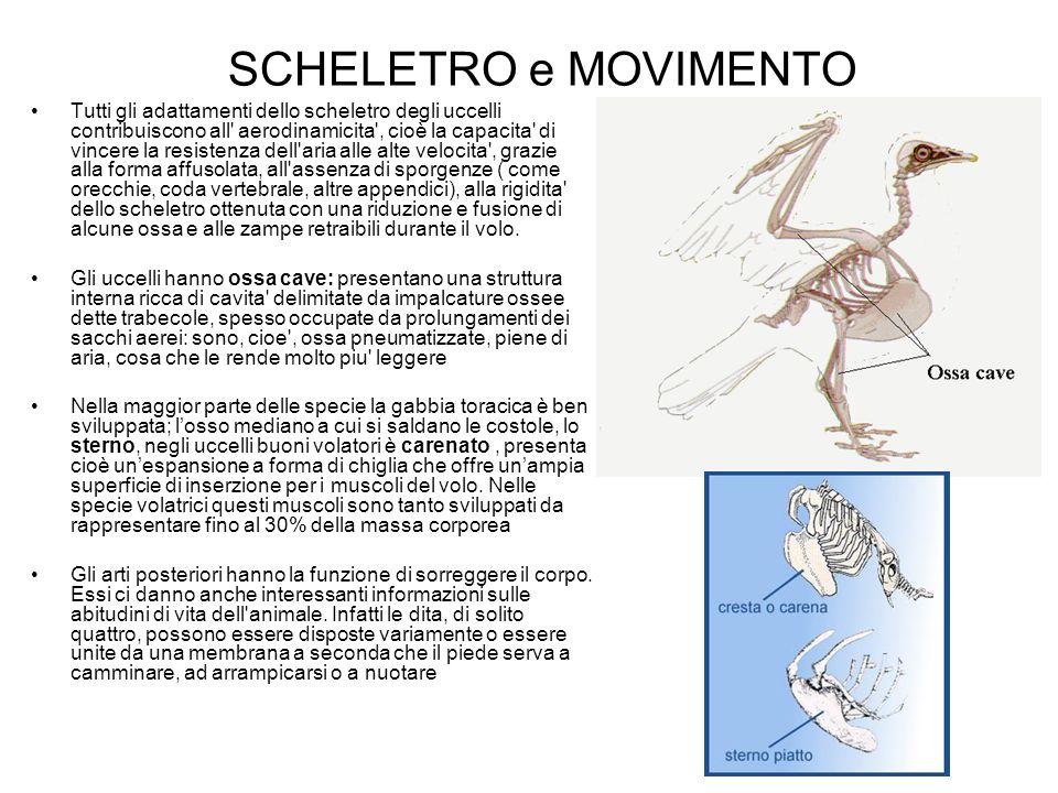 SCHELETRO e MOVIMENTO Tutti gli adattamenti dello scheletro degli uccelli contribuiscono all' aerodinamicita', cioè la capacita' di vincere la resiste