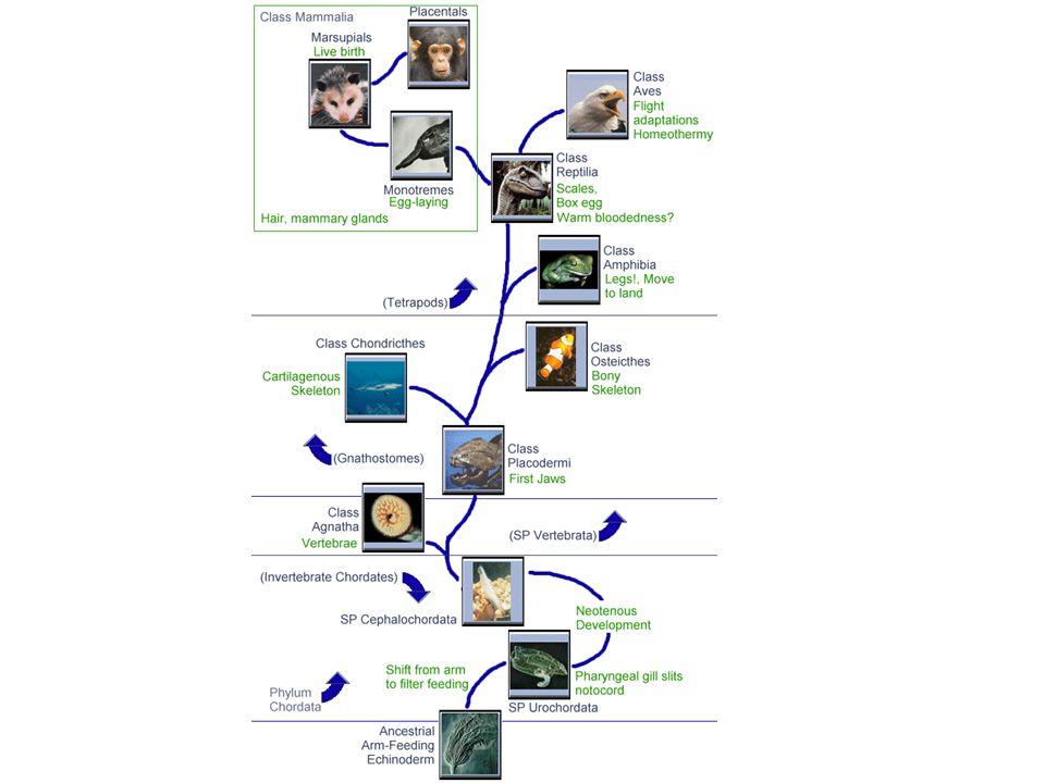 I cordati rappresentano, con gli artropodi e i molluschi, una delle linee evolutive di maggior successo: la ragione di ciò si trova soprattutto nella presenza della notocorda sulla quale si inseriscono i muscoli: questo apparato permette lo sviluppo di movimenti complessi e veloci, come il nuoto, la corsa e il volo.