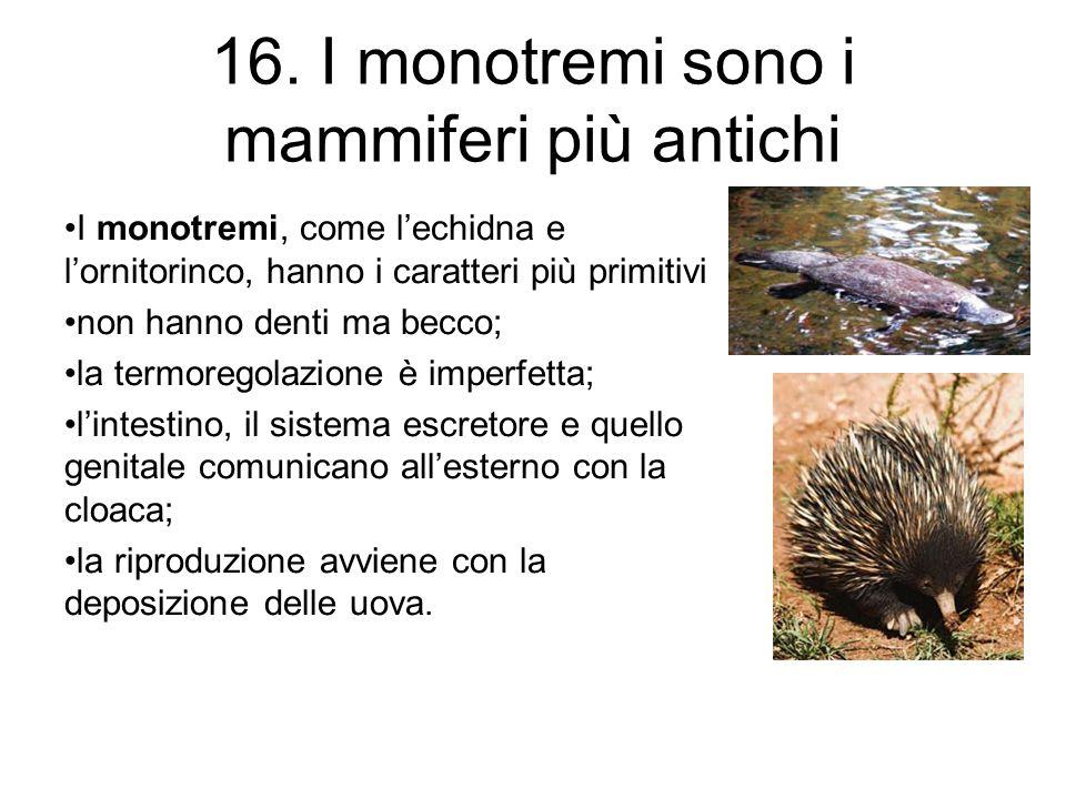 16. I monotremi sono i mammiferi più antichi I monotremi, come lechidna e lornitorinco, hanno i caratteri più primitivi non hanno denti ma becco; la t