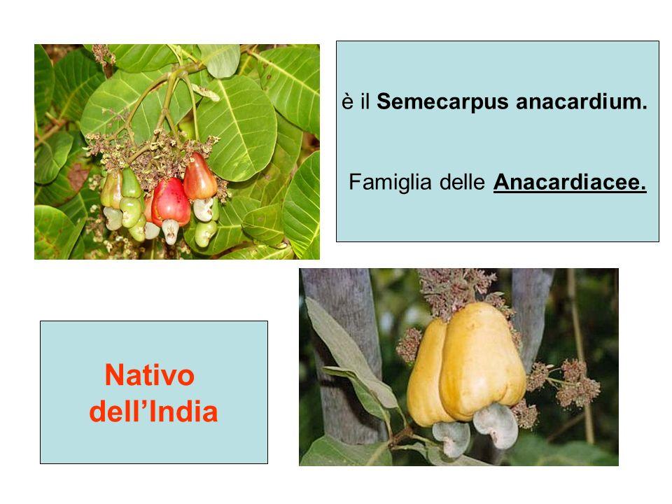 è il Semecarpus anacardium. Famiglia delle Anacardiacee. Nativo dellIndia