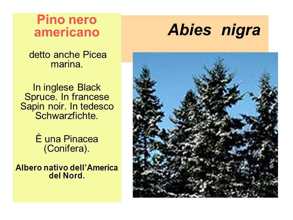 Abies nigra Pino nero americano detto anche Picea marina. In inglese Black Spruce. In francese Sapin noir. In tedesco Schwarzfichte. È una Pinacea (Co