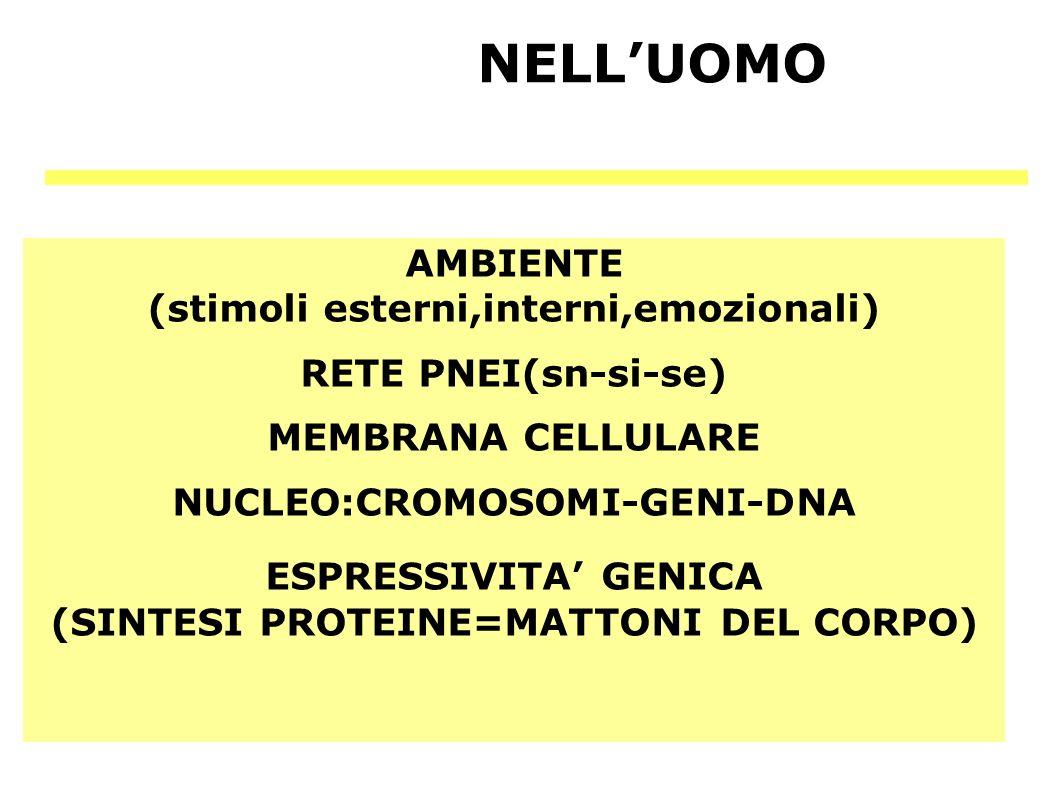NELLUOMO AMBIENTE (stimoli esterni,interni,emozionali) RETE PNEI(sn-si-se) MEMBRANA CELLULARE NUCLEO:CROMOSOMI-GENI-DNA ESPRESSIVITA GENICA (SINTESI P