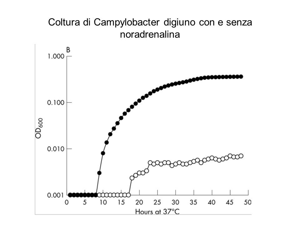 Coltura di Campylobacter digiuno con e senza noradrenalina