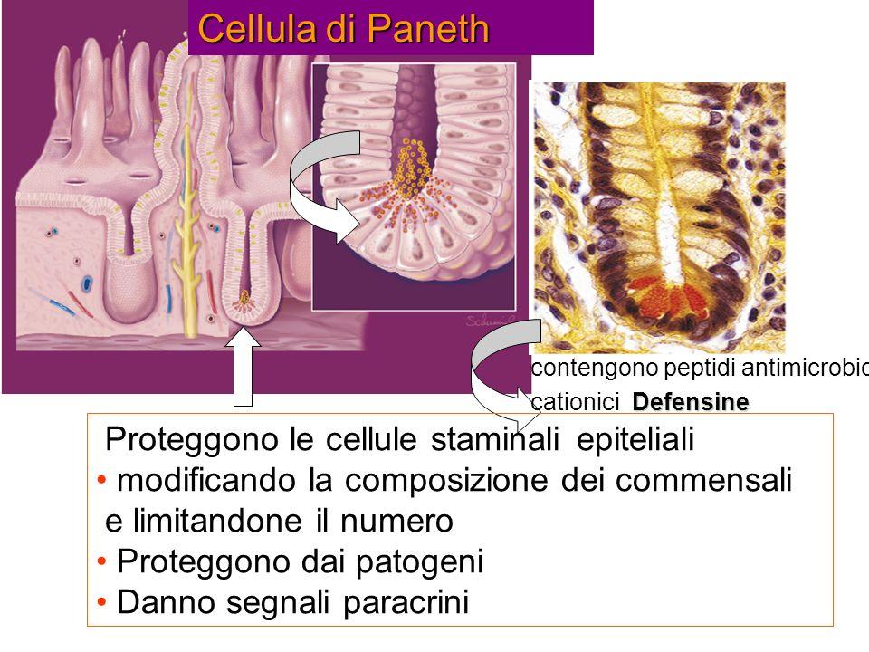 Cellula di Paneth Proteggono le cellule staminali epiteliali modificando la composizione dei commensali e limitandone il numero Proteggono dai patogen