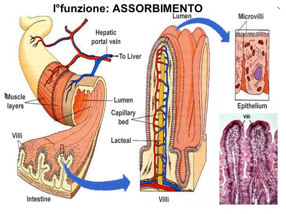 La mucosa dellintestino contiene la più grande popolazione di plasmacellule secernenti anticorpi dellorganismo.