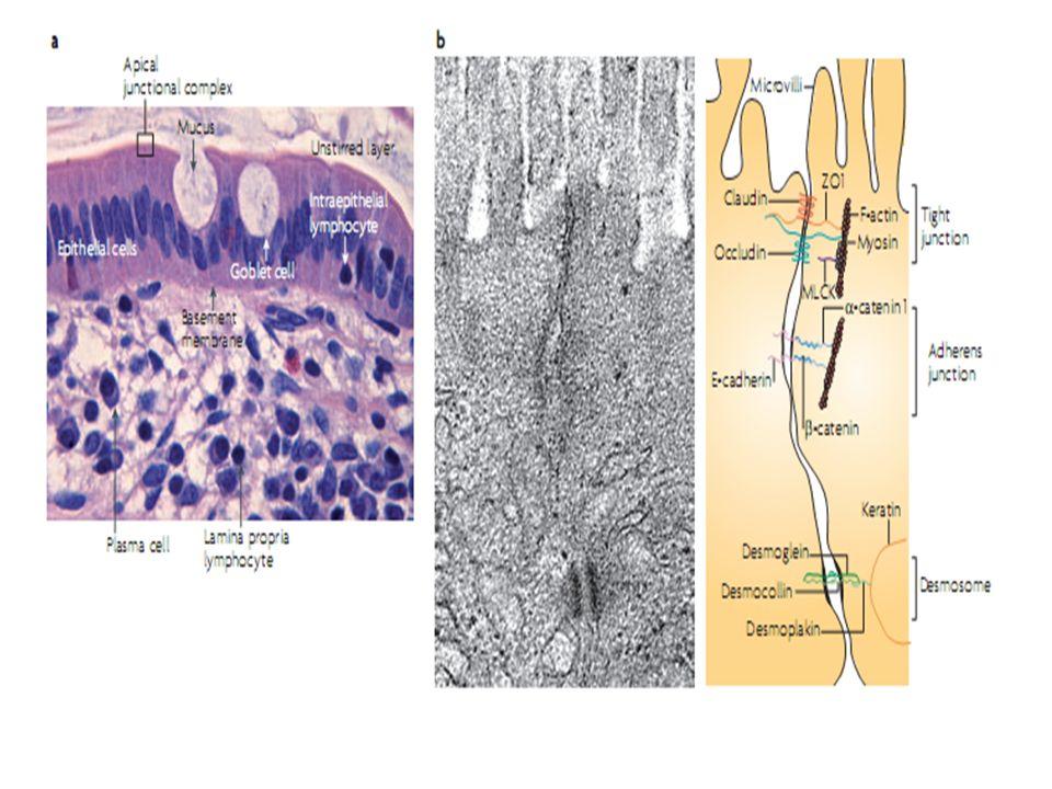 Mastcellule Sono presenti a tutti i livelli del tratto GI Quando sono attivate producono un potente insieme di sostanze proinfiammatorie : ISTAMINA - 5 OH TRIPTAMINA - PROTEASI NEUTRE - PROSTGLANDINE LEUCOTRIENI PAF La loro degranulazione causa alterazioni della barriera con alterazione del trasporto di ioni