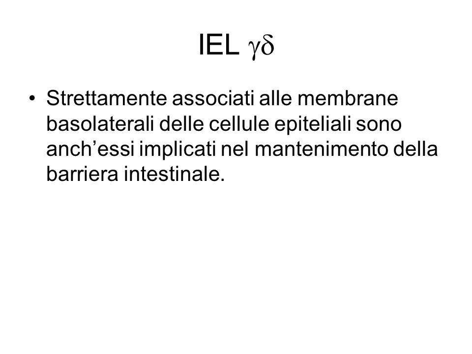 IEL Strettamente associati alle membrane basolaterali delle cellule epiteliali sono anchessi implicati nel mantenimento della barriera intestinale.