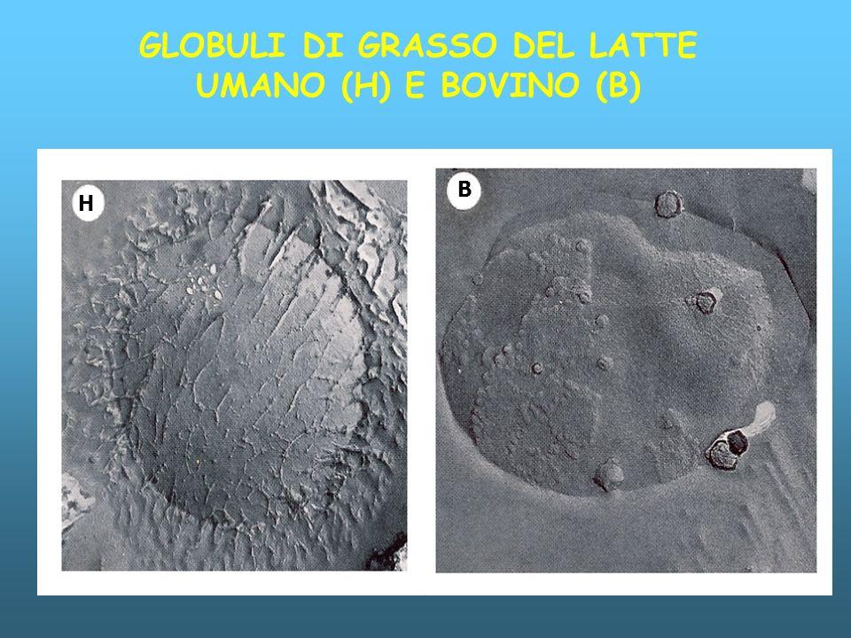 H B GLOBULI DI GRASSO DEL LATTE UMANO (H) E BOVINO (B)