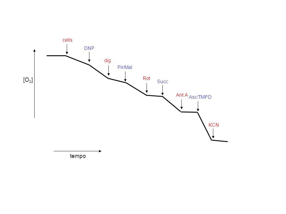 Pir/Mal Succ dig Rot Ant.A Asc/TMPD KCN DNP cells [O 2 ] tempo