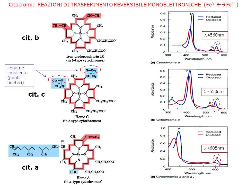 Citocromi: REAZIONI DI TRASFERIMENTO REVERSIBILE MONOELETTRONICHE (Fe 3+ Fe 2+ ) cit. b cit. c cit. a Legame covalente (ponti tioeteri) 560nm 550nm 60