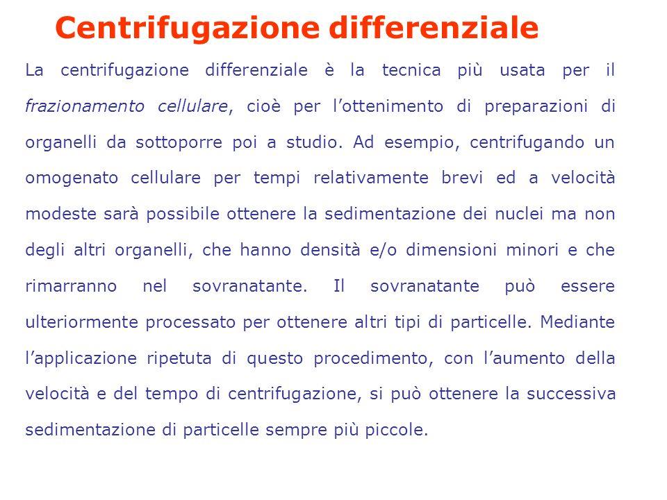 La centrifugazione differenziale è la tecnica più usata per il frazionamento cellulare, cioè per lottenimento di preparazioni di organelli da sottoporre poi a studio.