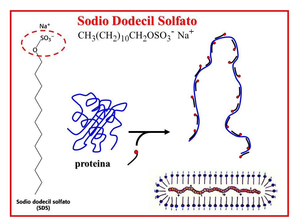 proteina Sodio Dodecil Solfato CH 3 (CH 2 ) 10 CH 2 OSO 3 - Na +