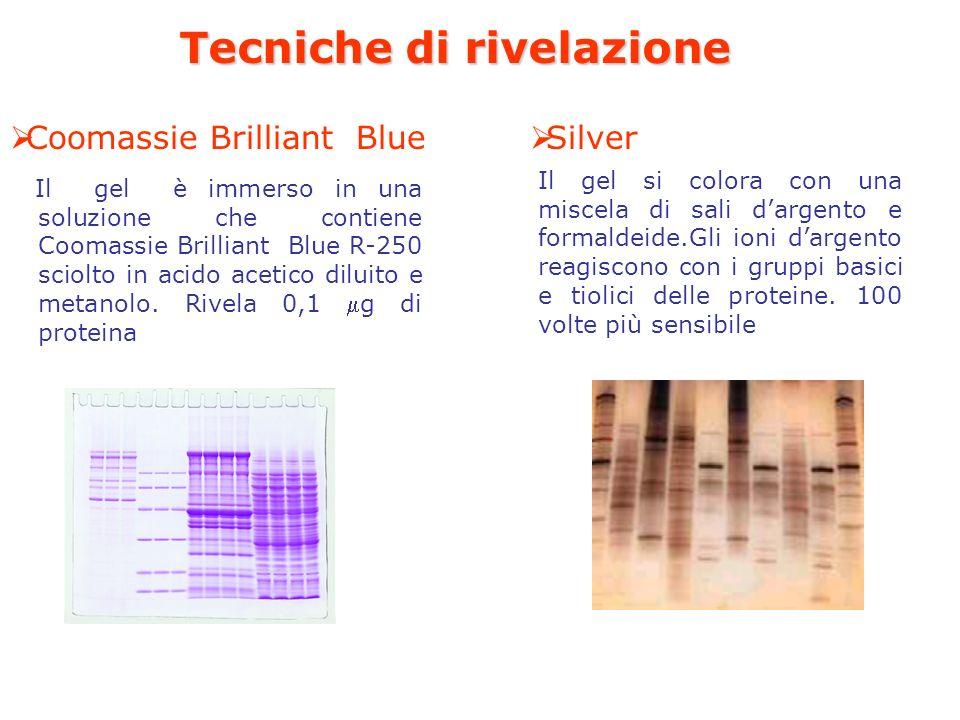 Tecniche di rivelazione Il gel è immerso in una soluzione che contiene Coomassie Brilliant Blue R-250 sciolto in acido acetico diluito e metanolo.