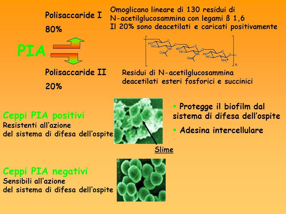 Polisaccaride I 80% Polisaccaride II 20% Omoglicano lineare di 130 residui di N-acetilglucosammina con legami ß 1,6 Il 20% sono deacetilati e caricati