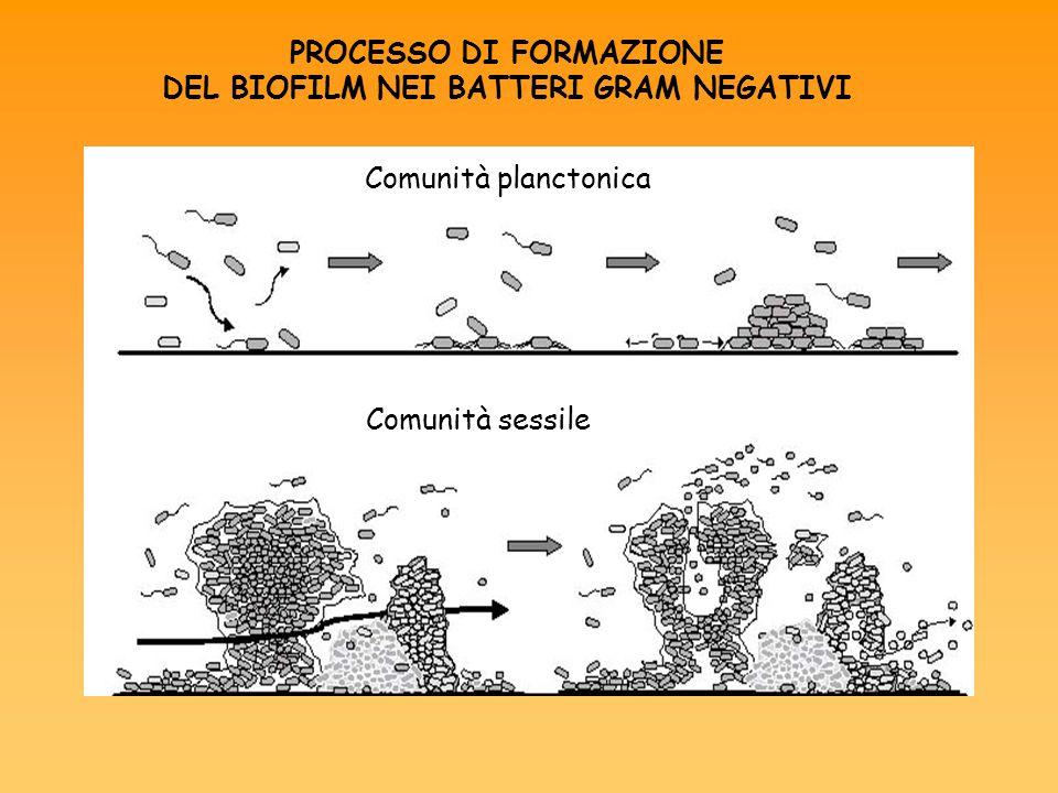PROCESSO DI FORMAZIONE DEL BIOFILM NEI BATTERI GRAM NEGATIVI Comunità planctonica Comunità sessile