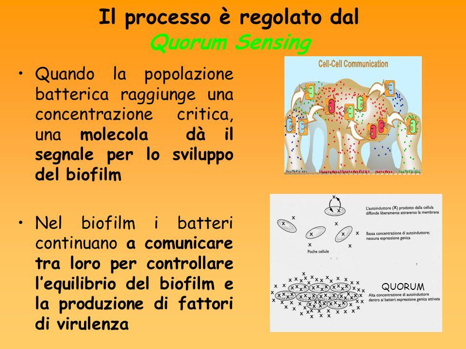 QUORUM Quando la popolazione batterica raggiunge una concentrazione critica, una molecola dà il segnale per lo sviluppo del biofilm Nel biofilm i batt
