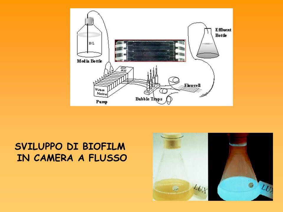 SVILUPPO DI BIOFILM IN CAMERA A FLUSSO