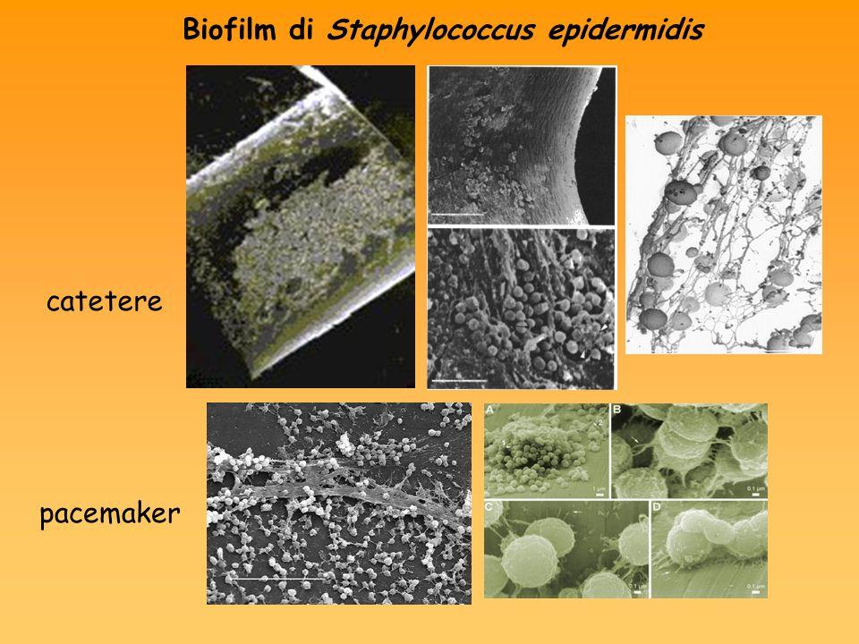 Biofilm di Staphylococcus epidermidis catetere pacemaker