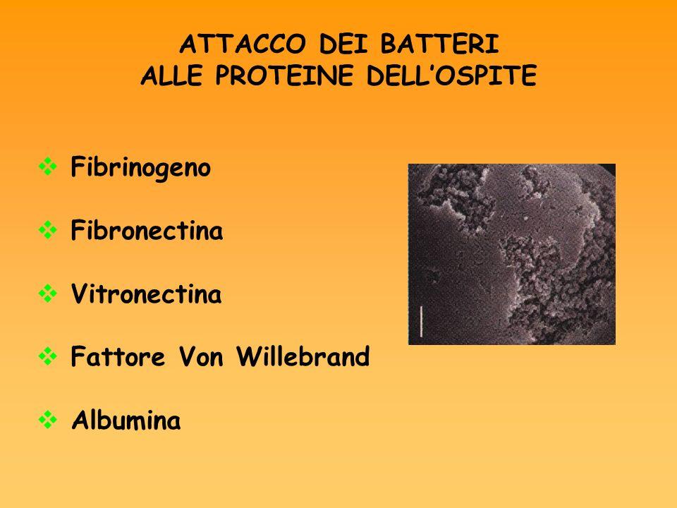 PROTEINE DI SUPERFICIE DEL BATTERIO Acidi teicoici PIA (polisaccaride intercellulare adhesin) SSP1 – SSP2 CflA – CflB AAP BAP Bhp 1: Mol Microbiol.