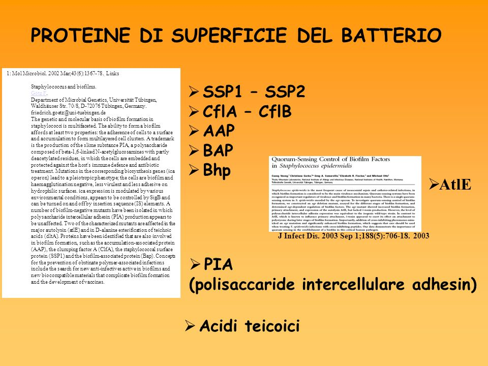 PROTEINE DI SUPERFICIE DEL BATTERIO Acidi teicoici PIA (polisaccaride intercellulare adhesin) SSP1 – SSP2 CflA – CflB AAP BAP Bhp 1: Mol Microbiol. 20