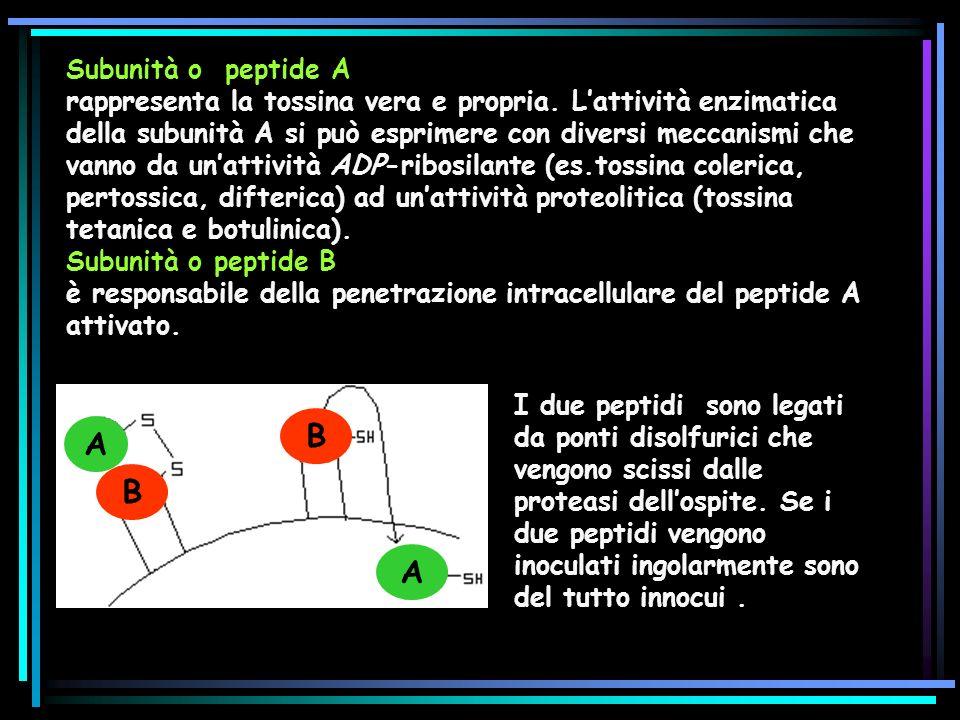 Subunità o peptide A rappresenta la tossina vera e propria.