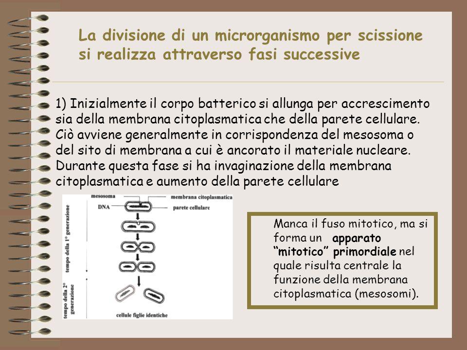 La divisione di un microrganismo per scissione si realizza attraverso fasi successive 1) Inizialmente il corpo batterico si allunga per accrescimento
