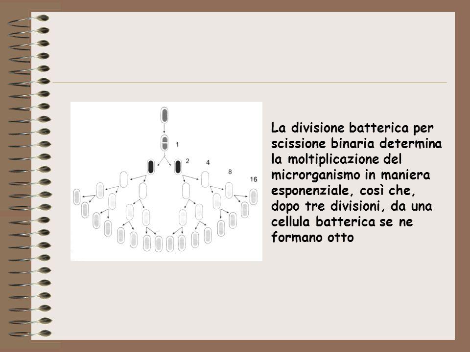 La divisione batterica per scissione binaria determina la moltiplicazione del microrganismo in maniera esponenziale, così che, dopo tre divisioni, da
