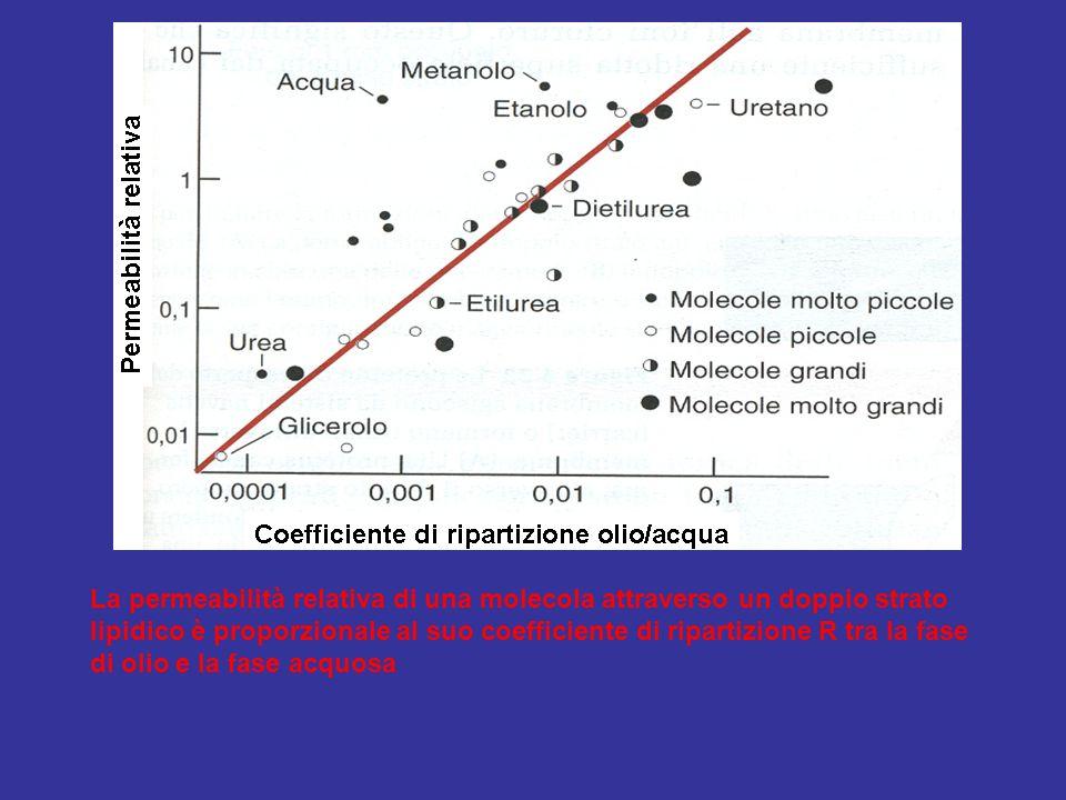 La permeabilità relativa di una molecola attraverso un doppio strato lipidico è proporzionale al suo coefficiente di ripartizione R tra la fase di oli