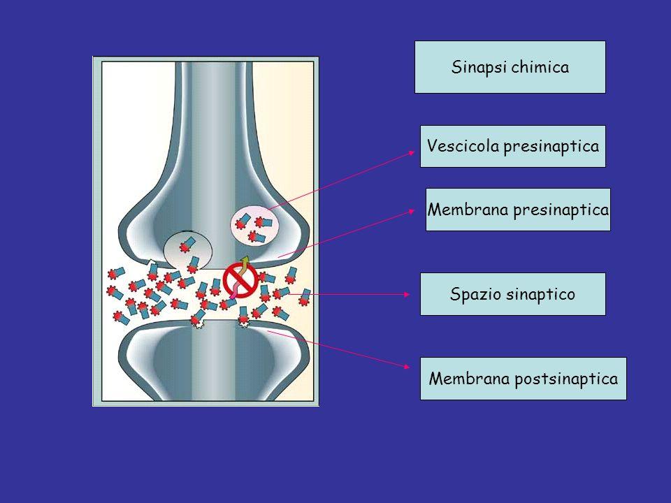 Sinapsi chimica Membrana presinaptica Spazio sinaptico Membrana postsinaptica Vescicola presinaptica