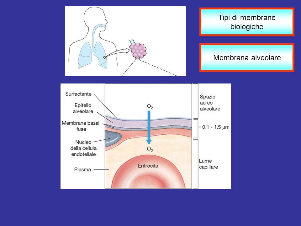 Membrana alveolare